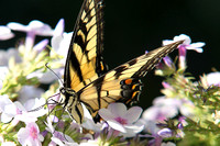 Swallowtail on Flowers