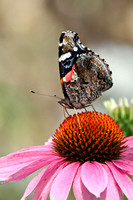 Moth on Pink Coneflower
