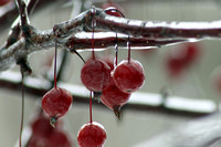 Icy Crab Apples